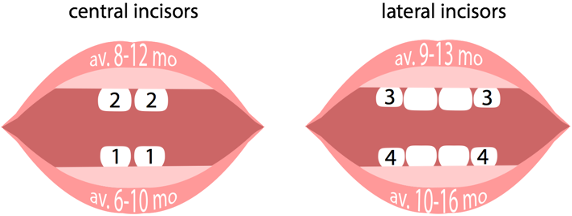 Central and lateral incisors eruption averages