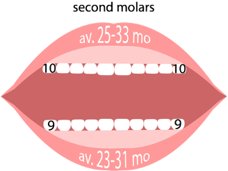 Second molars emerge bottom first, then top between 23 to 33 months old